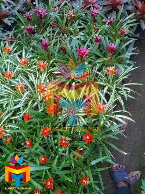 Tanaman Pohon Bromelia Guzmania 1 Jual Jual Bromelia Guzmania Jual Tanaman Hias Market