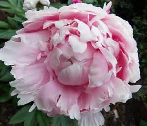 the graceful gardener 187 voluptuous peonies in my garden