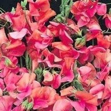 fiore piselli odorosi pisello odoroso domande e risposte giardinaggio