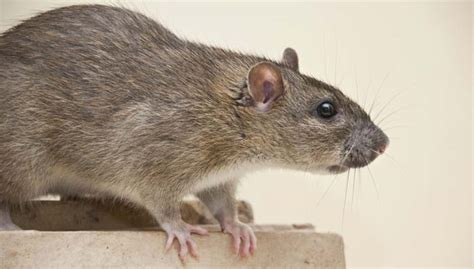 how do i get rid of rats in my backyard get rid of rats and mice