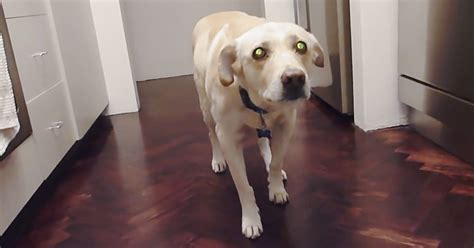 perro travieso un perro travieso roba la comida de su due 241 o y cuando lo