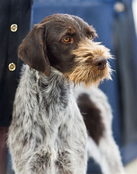 german wirehaired pointer puppies file akc german wirehaired pointer show 2013 jpg wikimedia commons