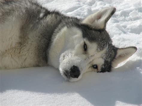 to the snow dogs pin by dogs network on snow