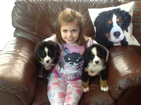 puppies for sale in lubbock bernese mountain puppies for sale lubbock tx 202450