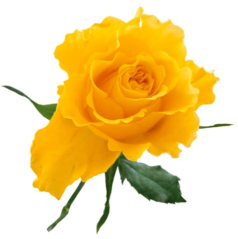 Clipart Yellow Roses yellow clip clipart best