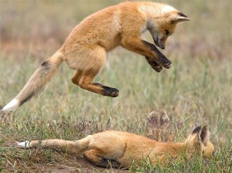 wild animal fights   photo