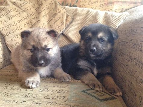northern inuit for sale northern inuit for sale breeds picture
