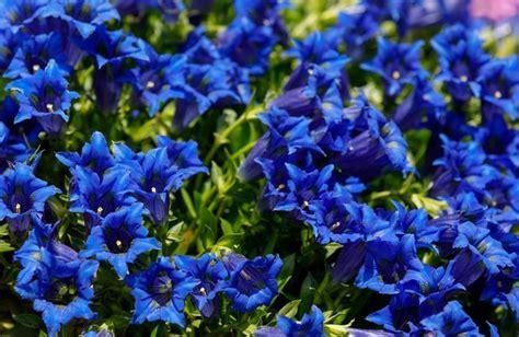gentiana  seeds gentiana acaulis beautiful alpine great