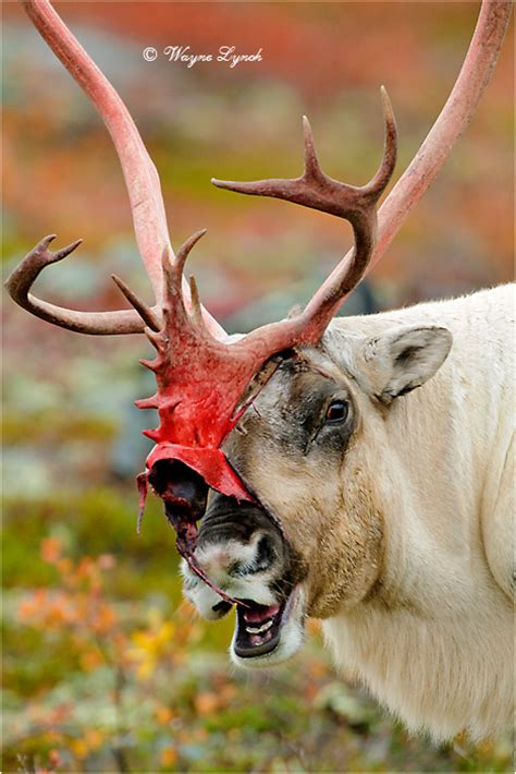 Do Reindeer Shed Their Antlers by White Deer Surprised By Its Own Antlers Shedding Gifs