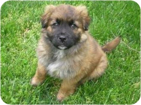 keeshond golden retriever mix german shepherd keeshond mix german shepherd puppies breeds picture