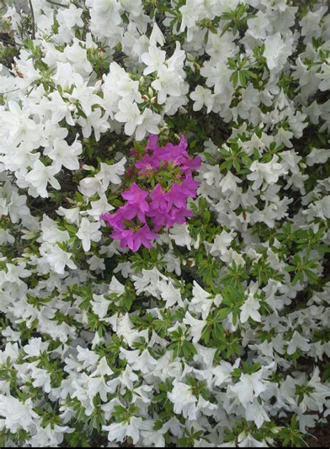 sporting of azalea blooms learn about different colored
