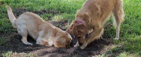 do golden retrievers dig digging golden retriever rescue of mid florida