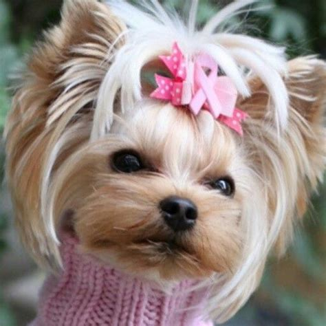 yorkie cancer 6984 best images about yorkie on