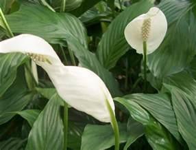 awesome plante d interieur d ombre 9 plante verte