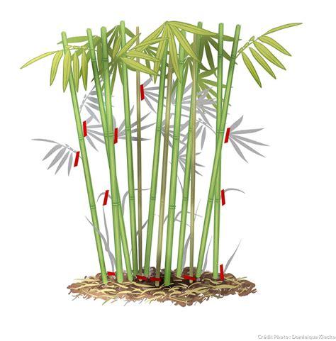 Que Faire Avec Des Bambous Coupés by R 233 Ussir La Taille Du Bambou En 3 233 Facile D 233 Tente