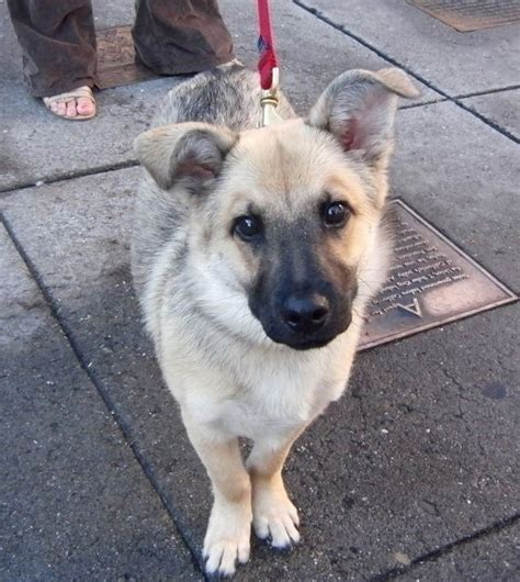 corgi german shepherd mix puppy corman shepherd german shepherd corgi mix temperament puppies pictures
