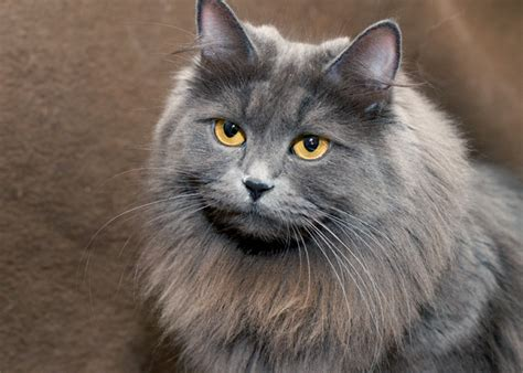 Siberian Cats Photo Gallery ? Siberian Beauty Cattery