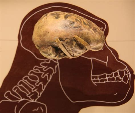 size of brain 7 interesting facts about the ancient ape mnn nature network