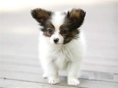 papillon breed pictures information temperament