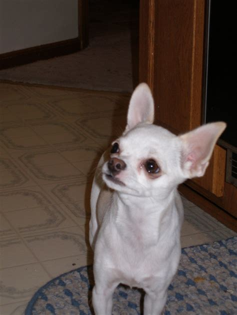 cute dogs white chihuahua dogs