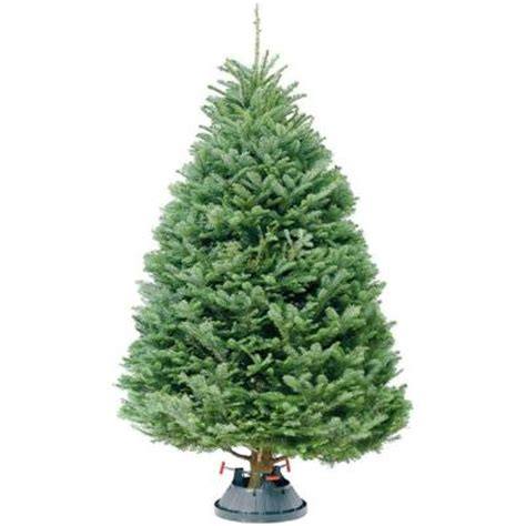 home depot fresh trees price 6 ft 7 ft fresh cut noble fir tree in store only 67fcnf2013 the home depot