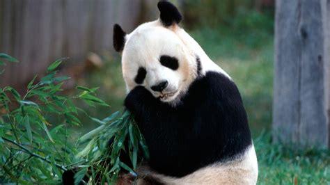 wallpaper hd panda hd wallpapers top quality pictures panda beautiful cool