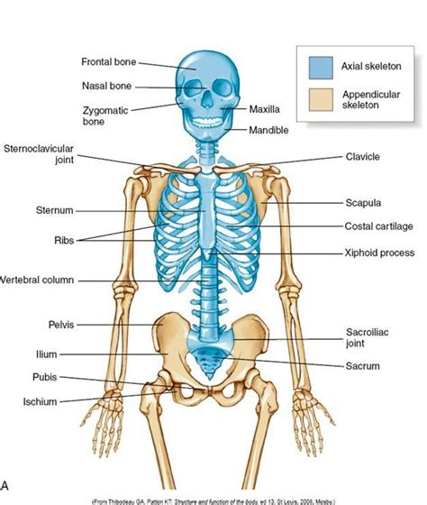 appendicular skeleton diagram lecture 4 at of houston clear lake studyblue