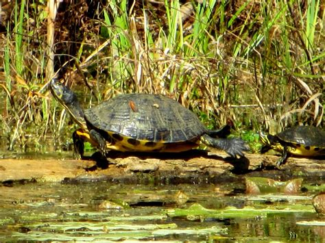 Yellow Belly cannundrums yellow bellied slider