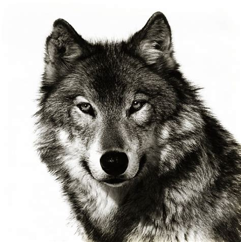 collection of 25 grey wolf head and lettering tattoos on