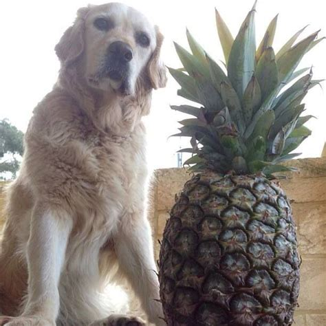 dogs and pineapple pineapple pineapples