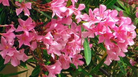 oleander standort garten oleander schneiden 252 berwintern und vermehren sat 1 ratgeber