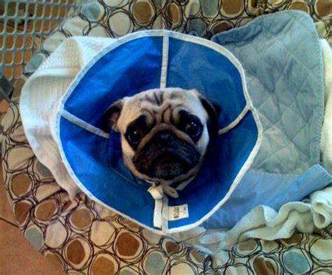 delaware valley pug rescue romeo update the pug