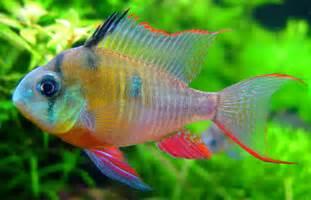 Welcome to Aquarium Pictures Blog: Fish Data : Bolivian Ram Cichlid