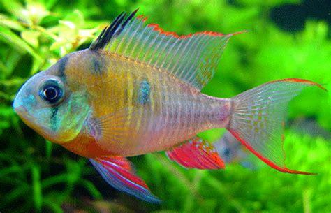 welcome to aquarium pictures fish data bolivian