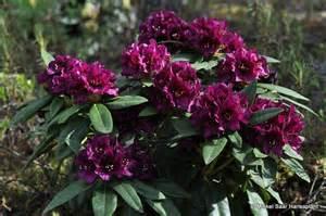 hirsutum info rhododendron hybrid polarnacht high