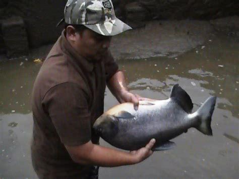 Benih Ikan Nila Per Kg