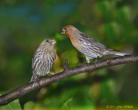 house finch songbirds