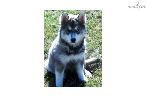 agouti husky puppies for sale siberian husky puppy wallpaper