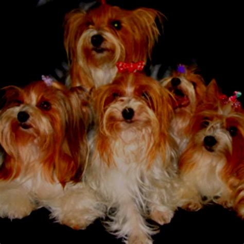 what color will my yorkie be 1000 images about yorkies parti colors all the time on pets yorkies and