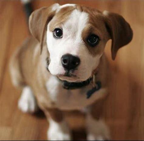 cani piccola taglia pelo corto da appartamento quot razze quot meticce al rifugio i cani da topi ti presento