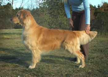 golden retriever for sale australia golden retriever puppies for sale golden retriever puppies for sale by golden