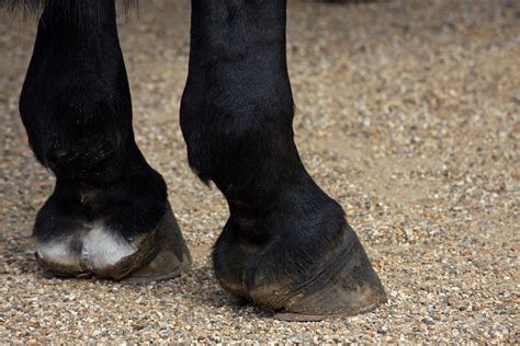 shoes for horses why do horses wear shoes 187 science abc