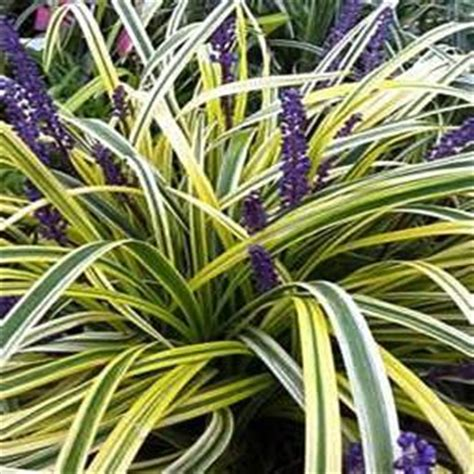 plant heat l home depot onlineplantcenter 1 gal variegated lily turf plant l872cl