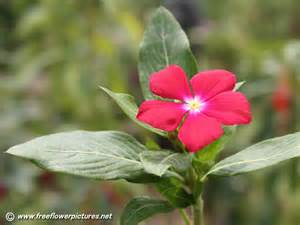 vinca pictures vinca flower pictures