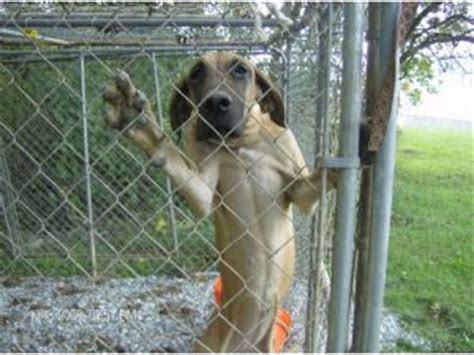 great dane puppies washington great dane puppies in washington dc