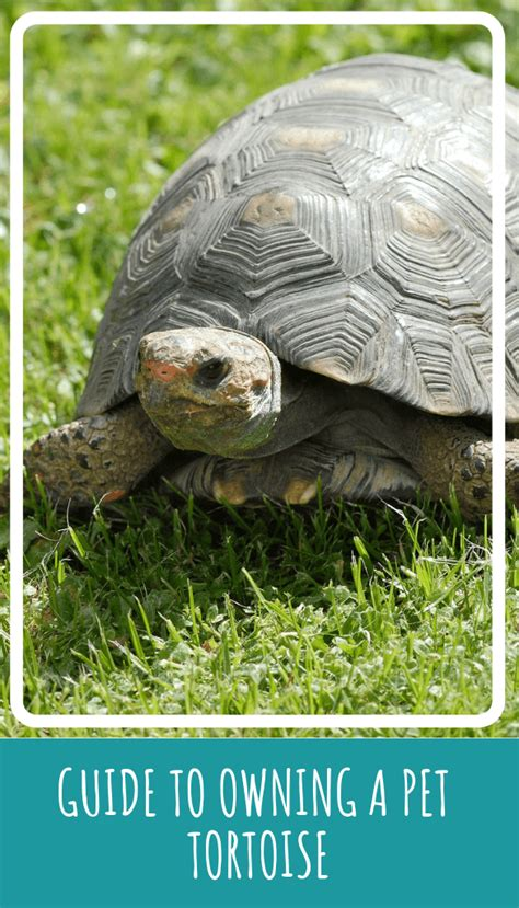 guide  owning  pet tortoise pbs pet travel