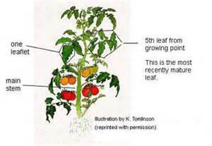 gallery for gt tomato seedling diagram