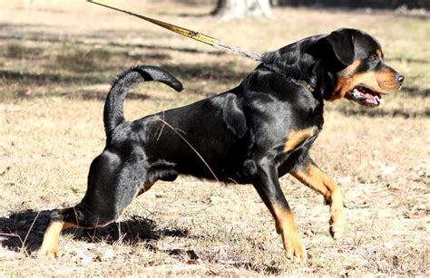 working rottweiler working line rottweilers picture breeds picture