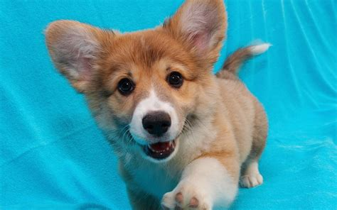 how much is a corgi puppy corgi puppy wallpapers 1280x800 224725