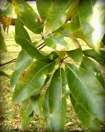shingle oak native trees  indiana purdue fort wayne